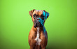 canvas print picture - Portrait of cute boxer dog on colorful backgrounds, orange