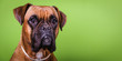 canvas print picture - Portrait of cute boxer dog on colorful backgrounds, green