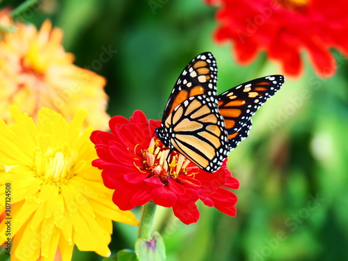 Butterfly Sitting On A Red Flower