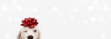 Banner Close-up Hide Dog Pet Celebrating Christmas Wrapped With A Red Ribbon. Isolated On White Or Gray Background.