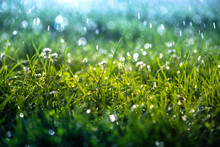 Green Grass Under Water Drops ...
