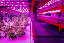 Various Herbs And Vegetables Grow Under Special LED Lights Belts In Aquaponics System Combining Fish Aquaculture With Hydroponics, Cultivating Plants In Water Under Artificial Lighting, Organic Food C