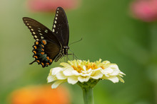 A Black Swallowtail Butterfly ...