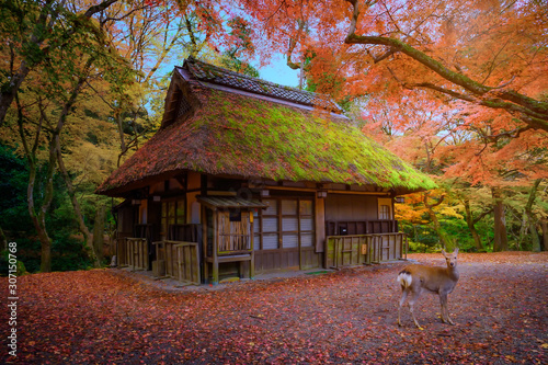 Photo Autumn of the season change in Nara town of Osaka prefecture Japan with deer wil