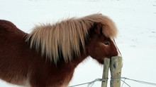 Beautiful Icelandic Horse Rubb...