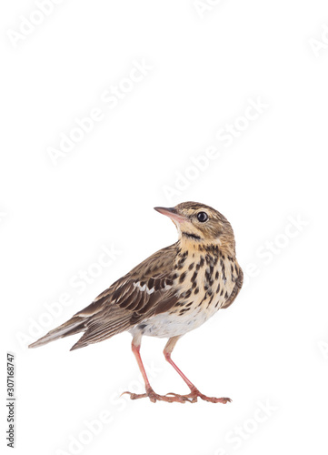 Tree Pipit (Anthus trivialis) isolated on a white background Fototapeta