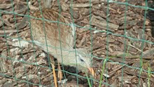 Closeup Golden Pheasant Female...
