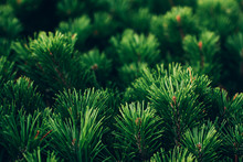 Coniferous Branch And A Nice P...