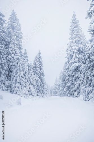 Verschneite Tannenbäume im Winter - 307177107