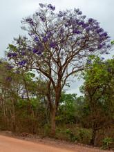 Ein Jacaranda Baum Mit Seinen Intensiv Lila Blüten
