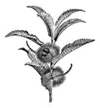 Chestnut Twig - Vintage Engrav...