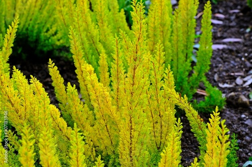 Heather Plant, Erica arborea 'Albert's Gold' touched by sunlight. Canvas Print