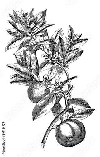 Fényképezés Orange Tree twig - Vintage Engraving Illustration