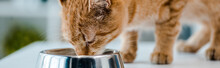 Panoramic Shot Of Cute Red Tabby Cat Eating From Metal Bowl In Veterinary Clinic