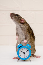 Gray Rat Or Mouse Sitting With...