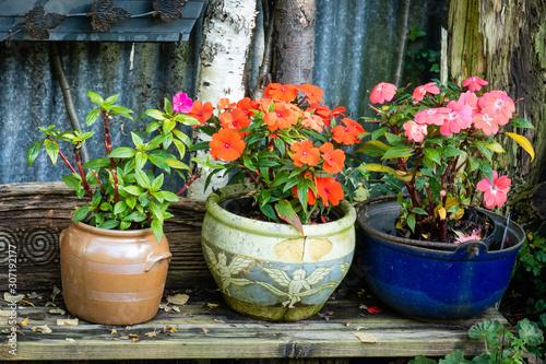 Fototapeta Terracotta earthen flower pots with busy Lissie obraz na płótnie
