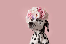 Funny Suspicious Dalmatian Dog With Wreath On Pink Background. Dog Portrait With Floral Crown. I Love You. Happy Valentines Day Concept