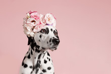 Cute Dalmatian Dog With Wreath On Pink Background. Dog Portrait With Floral Crown. I Love You. Happy Valentines Day Concept. Dog Looks At Right, Copy Space