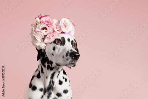sliczny-dalmatynski-pies-z-wiencem-na-rozowo