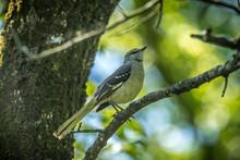 Mockingbird On Tree Branch