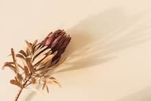 One Dry Red Protea Flower On Pastel Beige Background. Minimal Tropical Exotic Floral Composition.