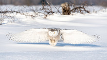 Snowy Owl On The Hunt In Ontario Canada