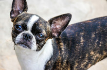 Adult Brindle And White Boston...