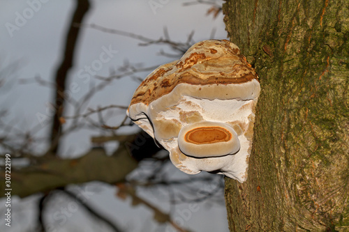 A woody Beeswax bracket fungus, also called conk, on the bark of a dying Oak tre Canvas Print