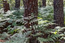 Mossy Tree Trunks Among Fern L...