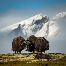 Two Black Animals Standing Front Of Mountain