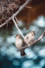 Two Brown Sparrow Birds On Twig