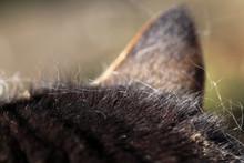Haarausfall Bei Fellwechsel Bei Haustieren. Eine Katze Mit Haarausfall