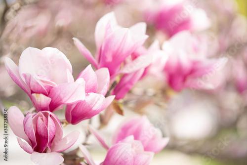 Obrazy Magnolie  magnolia-blogosc