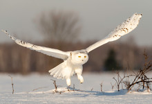 Snowy Owl Taking Flight, Ontar...