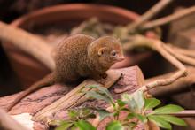 Dwarf Mongoose Closeup