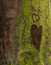 Redwood Tree Graffiti