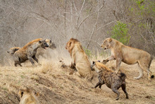 Spotted Hyenas, Crocuta Crocuta, Attacking A Pride Of Lions, Panthera Leo
