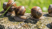 Group Of Brown Grape Snails Si...