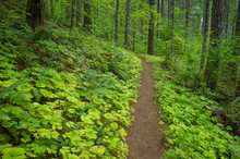 The Pacific Crest Trail Extends Through, Lush And Green Forest, The Gifford Pinchot National Forest.,Pacific Crest Trail