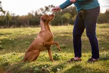Woman Training Vizla Dog With ...