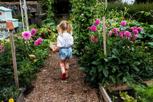 Rear View Of Girl Walking Along Garden Path Past Pink Dahlias, Carrying Wooden Crate.