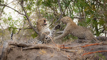 A Male And Female Leopard, Pan...