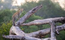 A Leopard Cub, Panthera Pardus...