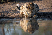 A Leopard, Panthera Pardus, Crouches Down To Drink Water, Direct Gaze, Ears Back, Ripples In Water,Londolozi Game Reserve