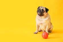 Cute Pug Dog With Toy Ball On ...