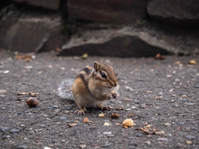 Chipmunk Eating Acorn
