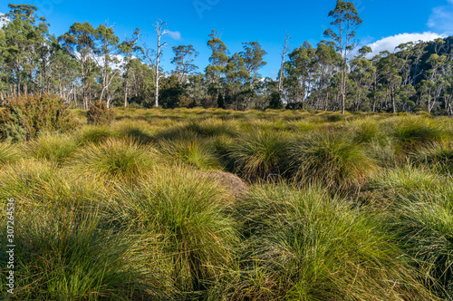 Cuadros en Lienzo Australian nature landscape with eucalyptus trees and tussock grass