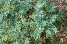 Close Up Of Foliage Of Austral...
