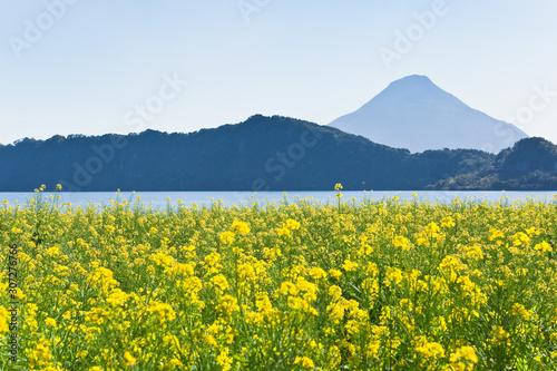 池田湖周辺の菜の花