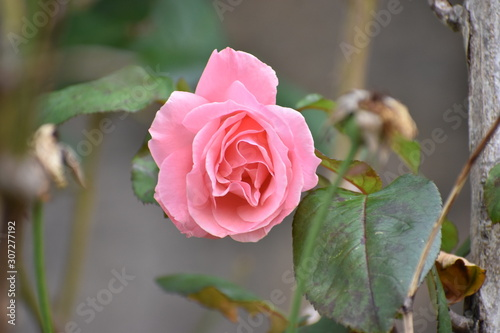pink roses on a branch
